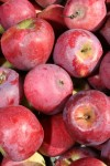 Apples at Whims Farm