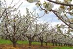 cherry_blossoms2